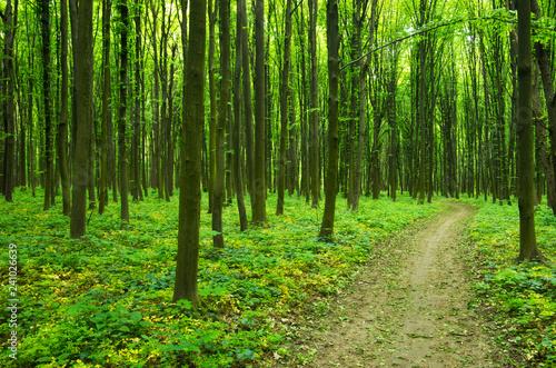 obraz lub plakat Path in green forest