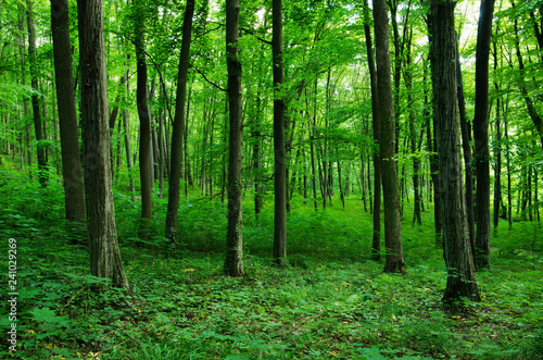 Foto Murales forest green