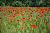 Pole czerwonych maków i zboże pod lasem © Damian