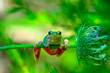 Tree frog - Stock Image