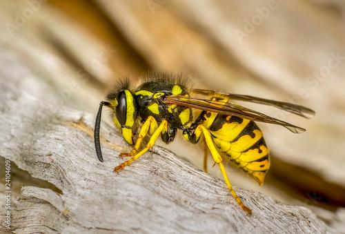 Foto Murales Bee macro in green nature - Stock Image