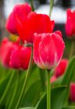 Primer plano de ramo de tulipanes rojos en parque, con fondo verde
