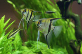 Sea angel, pterophyllum on the background of green plants in the aquarium.