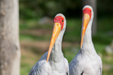 Two yellow-billed storks