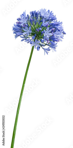 Agapanthus. Cropped blossoms as background for your works.