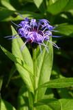 Kwiat Chaber górski