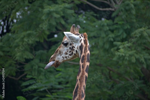 Giraffe in the Mysore Zoo
