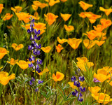 Lupine amount a field of wild Mexican Poppies - 241129409