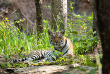 A female tigress sitting relaxedly near a waterhole inside Pench Tiger reserve during a wildlife safari