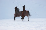 horses gallop together in the snow - 241135402