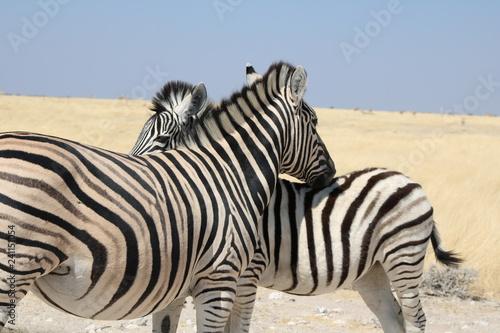 zwei Zebras - 241151054