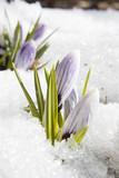 les fleurs du printemps dans la neige