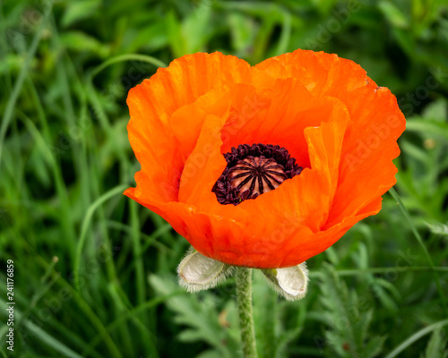 Red poppy in the garden with green background. - 241176859