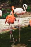 Flamant rose dans un étang