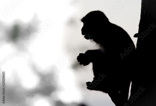 obraz lub plakat A monkey sits on a tree. It is holding food on its hand. The image is silhouette black and white.
