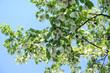 Blüten des Taschentuchbaums