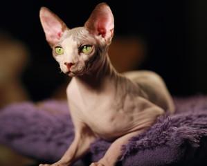 cat sphinx portrait