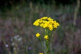 Fototapeta Puff-ball - yellow little flower © MJGdesign