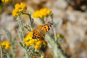 Butterfly on a flowering immortelle. vanessa cardui © Aloksa