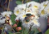 Australian native Fiddler Beetles, Eupoecila australasiae, family Scarabaeidae, feeding on nectar of Angophora hispida blossoms, Wallumarra Track, Royal National Park, NSW, Australia