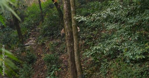 giant panda bear walking in the woods