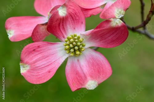 Pink Dogwood Flower blossom, close up on single bloom - 241253604