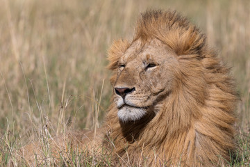 Male lion in the Masai Mara, Kenya Africa
