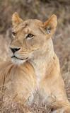 Lion portrait in Kenya Africa