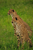Cheetah Waiting for the Hunt