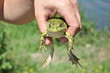 frog, amphibian, animal, green, nature, wildlife, toad, hand, tree, macro, tree frog, small, eye, water, reptile, wild, leaf, outdoors