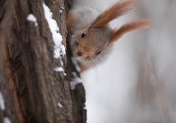 squirrel on a tree trunk in winter © serikbaib