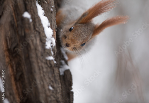 Leinwanddruck Bild squirrel on a tree trunk in winter