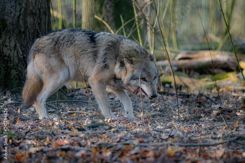 Canis Lupus , Wolf beim Knochen fressen