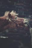 Pony Pferd streckt den Kopf braun outdoor - 241285482