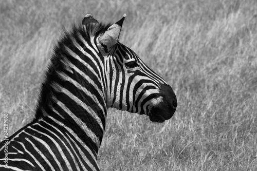 Zebras in der Savanne der Serengeti  - 241289888