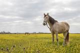 Caballo pastando en el campo entre flores amarillas un día de otoño - 241293674