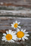 Daisy flowers on a rustic wooden background