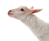 a funny white goat - 241300086