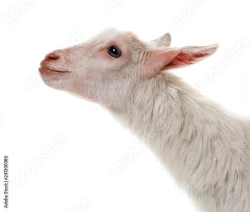 obraz lub plakat a funny white goat