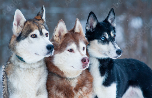 Three beautiful dogs - 241309814