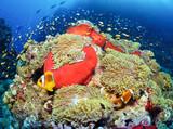 Coral reef. Sudan. Anemon.