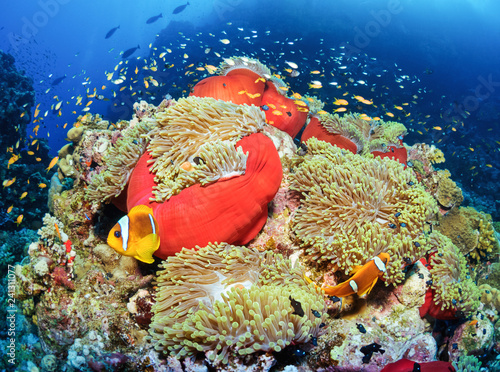obraz lub plakat Coral reef. Sudan. Anemon.