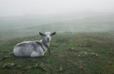 Goat is grazed on a green meadow in the spring. The morning was foggy - 241331272