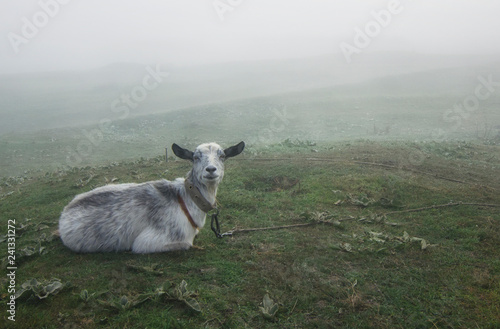 Goat is grazed on a green meadow in the spring. The morning was foggy