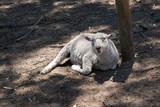 lamb or young sheep - 241353268