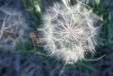 Soft and fragile the ball of dandelion seeds (Taraxacum) is ready to carry your wish - blow gently.	 - 241359805