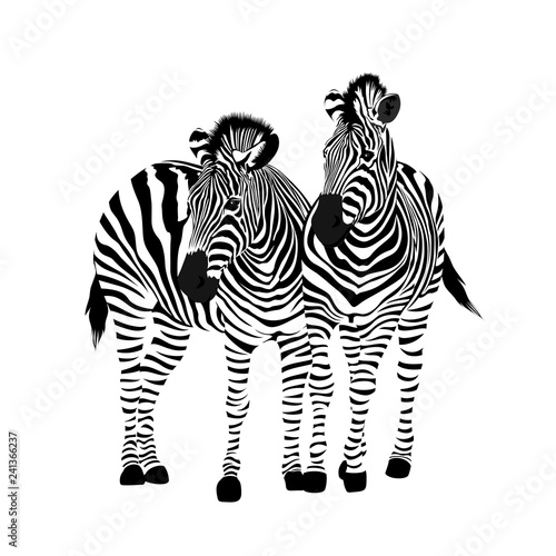 Zebra couple standing. Savannah animal ornament. Wild animal texture. Striped black and white. Vector illustration isolated on white background. - 241366237