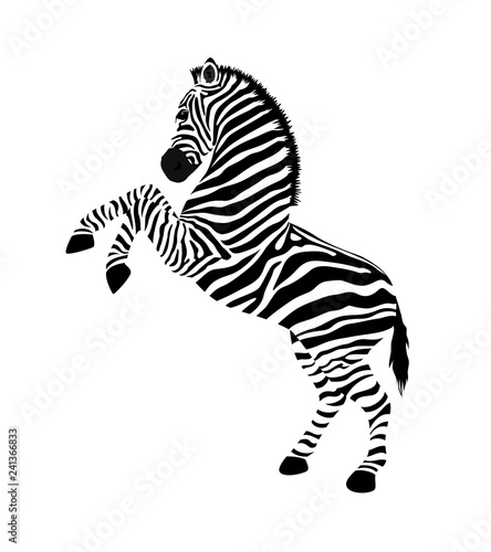 Zebra with hind legs. Wild animal texture. Striped black and white. Vector illustration isolated on white background. - 241366833