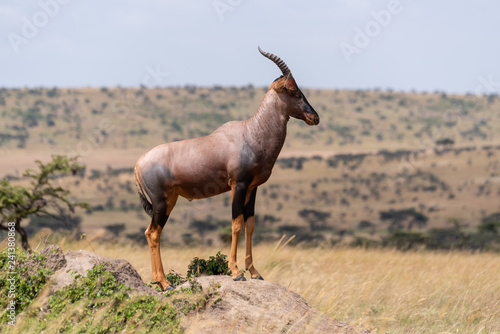Topi stands on rock in grassy plain