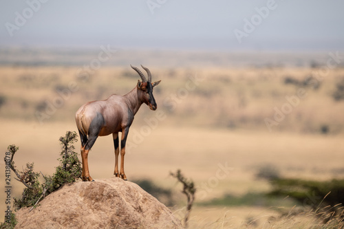 Topi stands on rocky mound in profile